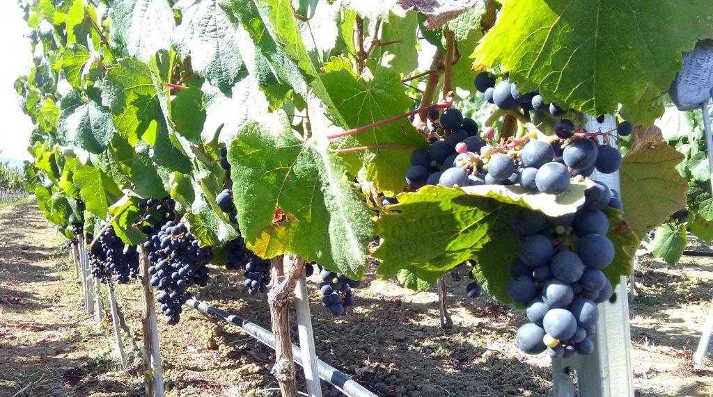 Los Andes: Agricultores podrán conocer las nuevas tecnologías para la producción de uva de mesa