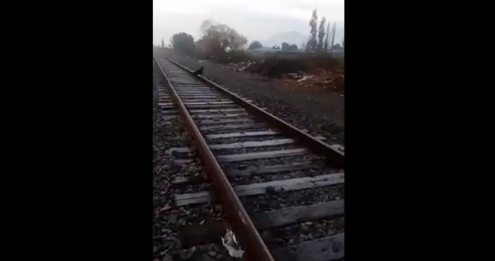 Municipio interpondrá querella contra quienes amarraron con cadena a perrito a la línea férrea en ingreso a Llay Llay