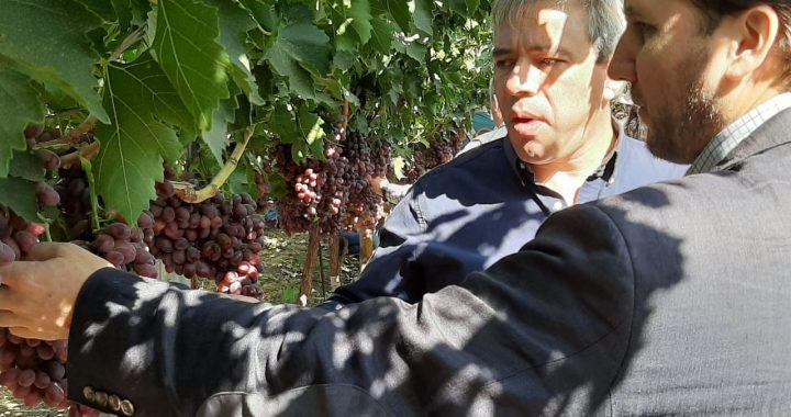 Corfo presenta nueva variedad de uva de mesa mejorada genéticamente en Chile
